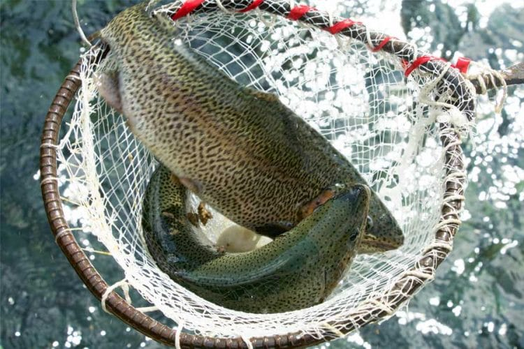 trout-fish